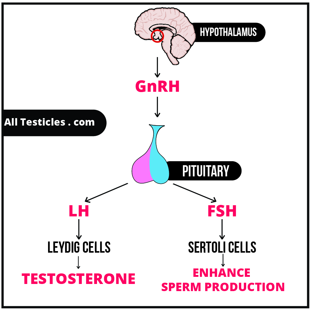 How do Anabolic Steroids cause infertility in men
